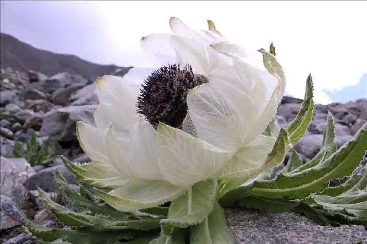 loài hoa Tuyết Liên