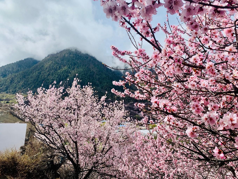 Đến Tây Tạng mùa xuân - Ngắm Hoa Đào Lâm Chi